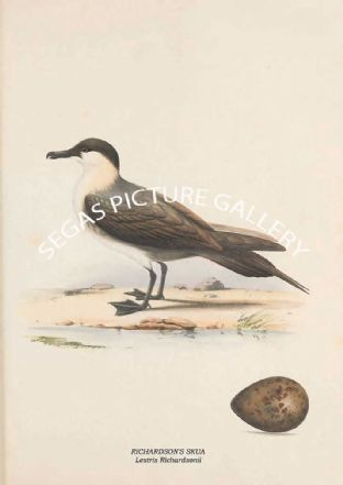 RICHARDSON'S SKUA - Lestris Richardsonii